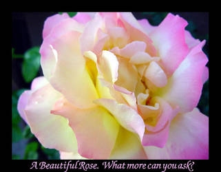 Beautful Rose2 by midgetpenguin83
