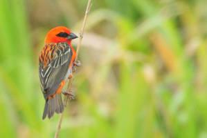 Red Sparrow II by MrCoolAttitude