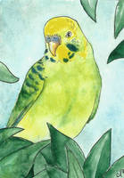 ACEO: Budgie by DundalkChild