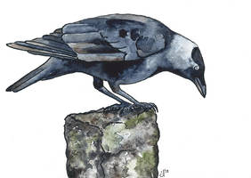 100 Birds: #13 Jackdaw by DundalkChild