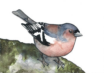 100 Birds: #16 Common Chaffinch by DundalkChild