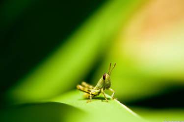 Baby Grasshopper by darou