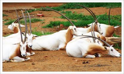 Oryx by hmdll