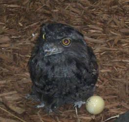 frogmouth by turtledove-stock