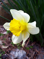 daffodil 12 by turtledove-stock