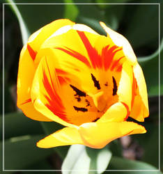 Tulip by wistine