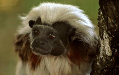 Tamarin Monkey by Dark-wind-Wings