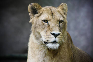 The Calm Lioness by Eligius57