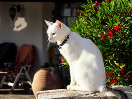 White cat by XanaduPhotography