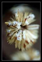 Winter Flower 3 by xavierus