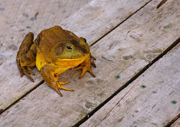 Frog - deck visitor by barefootliam