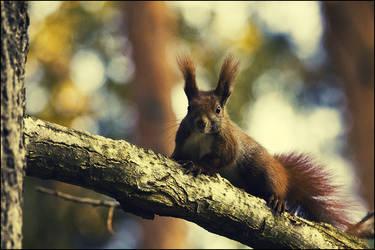 red squirrel by herz0g