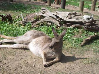 Kangaroo by cheatingatlife