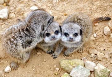 Baby Meerkats by Geemaa-pix