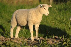 Lamb stock 3 by Bundy-Stock