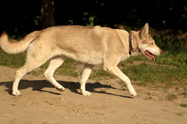 Wolfdog stock 6 by Bundy-Stock