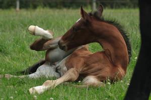 Foal stock 103 by Bundy-Stock