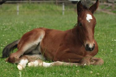 Foal stock 136 by Bundy-Stock