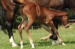 Foal stock 156 by Bundy-Stock