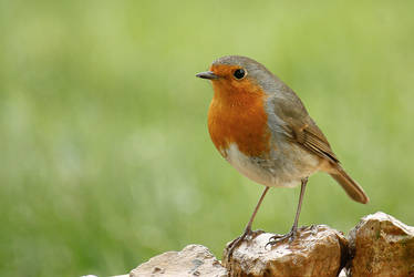 Red Breast by Tom-Mosack