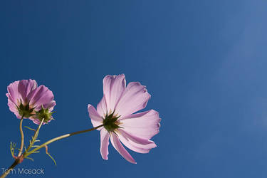 Pink Cosmos by Tom-Mosack
