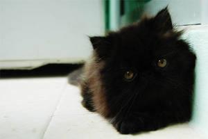 Black Persian Cat by skybookz
