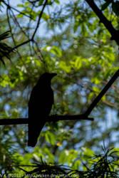 Mumbai Crow 1 by vicken