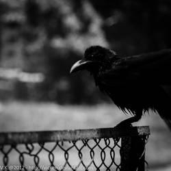 Crow II by vicken