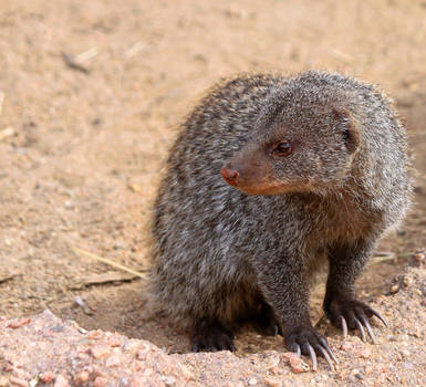 Banded Mongoose by rainylake