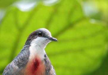Bleeding Heart Dove by rainylake