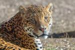 Jaguar by rainylake