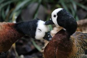 Love Ducks by rainylake