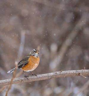 Snowy Robin by rainylake