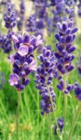 Lavender Dreams by nviki89