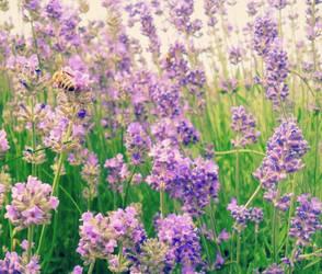 Lavender Field by nviki89