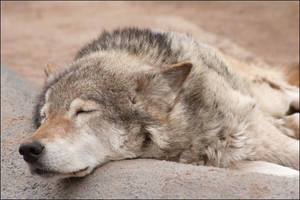 Sleep my dear wolf by Non-Smoking