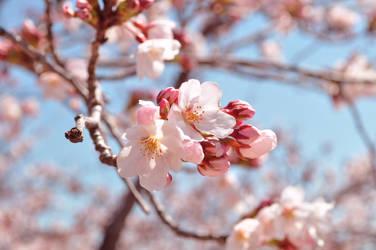Sakura Blossom Japan by beez-neez