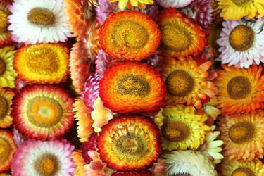 Baguio Flowers by kruelaid