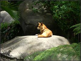 Animal photos: Dingo Sentry by Bear-hybrid