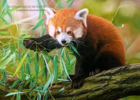 Red Panda by AmBr0
