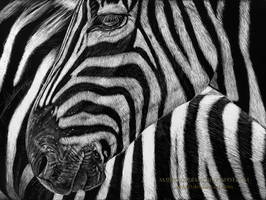 Zebra Scratchboard by AmBr0