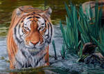 Tiger in Water Drawing by AmBr0