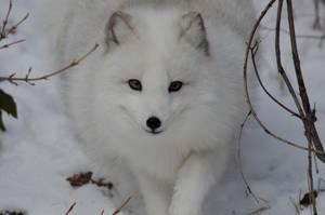 Arctic Fox VI by White-Voodoo