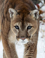 Cougar Stare by White-Voodoo