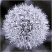 Dandelion V by Polychromic