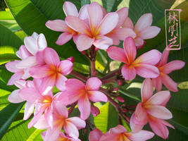 Pink Plumeria by emmil