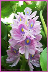 Eichhornia crassipes by emmil