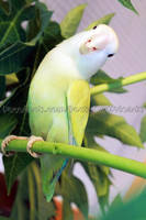 Pippin on papaya tree by emmil