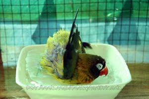 Swimming lovebird by emmil