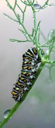 Black Swallowtail Caterpillar2 by TheLadyandTheDragon